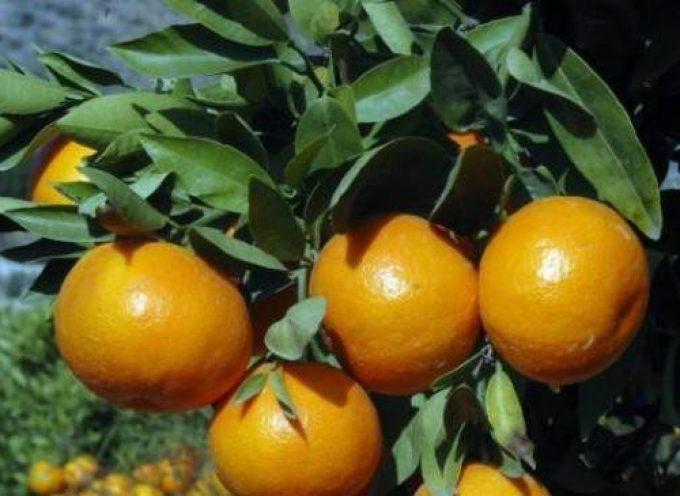Cofrusa oferta 600 empleos para la campaña de mandarina