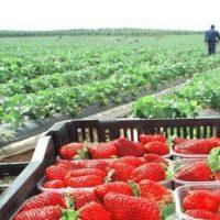 Huelva busca personal para trabajar en el campo en la recogida de la fresa