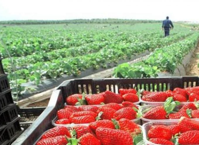 La fase de plantación de la fresa empleará a 5.000 trabajadores nacionales en Huelva